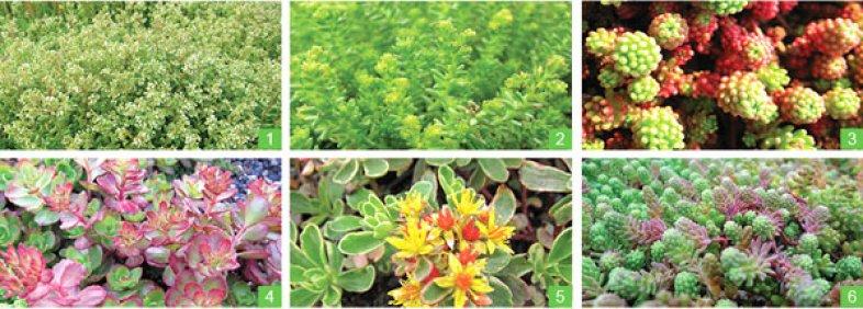 couvert-vegetalid id sedum-6plantes-07-2013