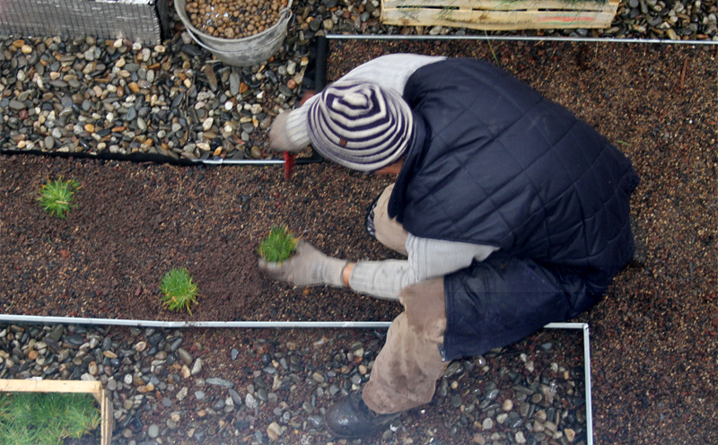Planting i.D. MOTTE micro-plugs on a green roof